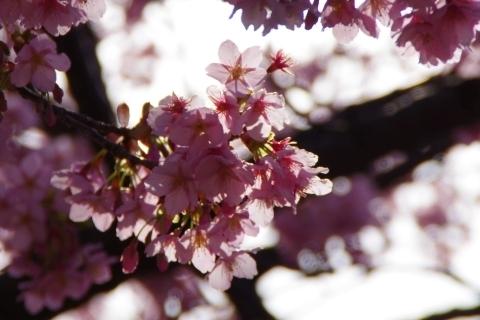日に透ける修善寺寒桜1