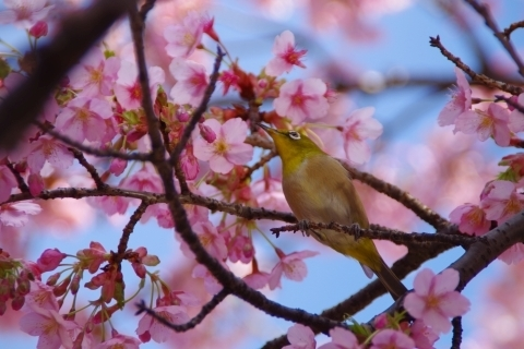 修善寺寒桜とメジロ