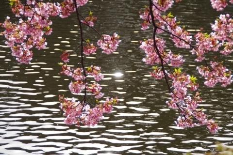 水面と修善寺寒桜2