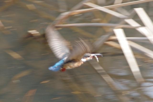 魚を咥えて飛んでいるカワセミ