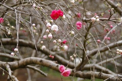 紅白混じって咲く源平桃