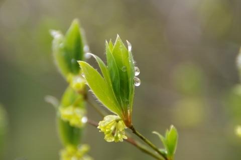 クロモジの新葉と雨滴.JPG