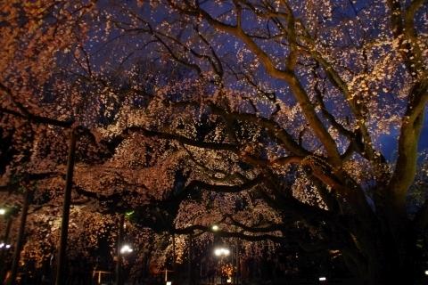 ライトアップされた枝垂桜3