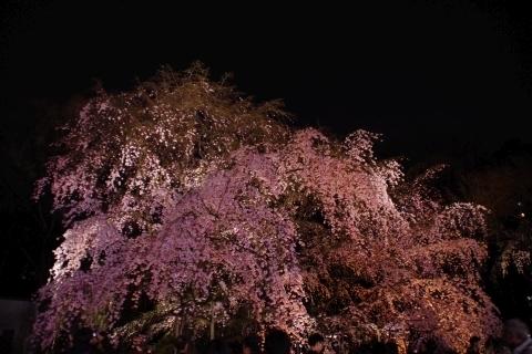 ライトアップされた枝垂桜1