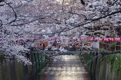 覆いかぶさる桜