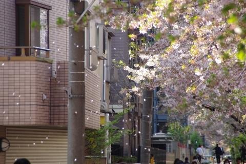 遊歩道に舞う桜