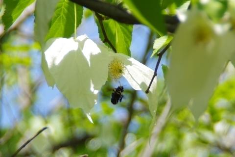 ハンカチノキにやってきたクマバチ