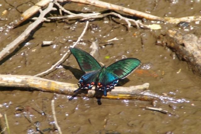 翅を広げたカラスアゲハ