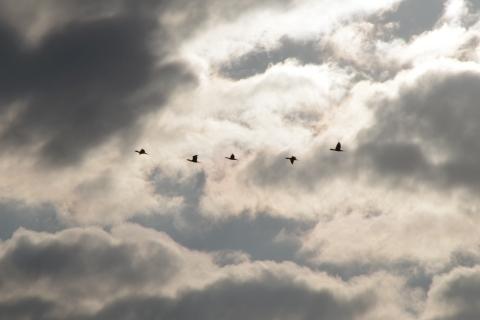 群れで飛ぶカワウ