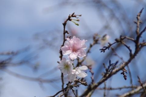 ほんのりピンクの十月桜