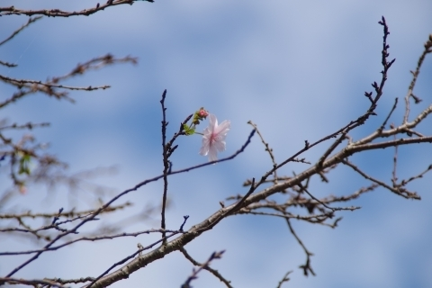 秋空と十月桜2