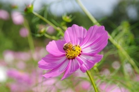ピンクのコスモスにミツバチ2