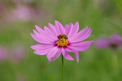 ピンクのコスモスにミツバチ1