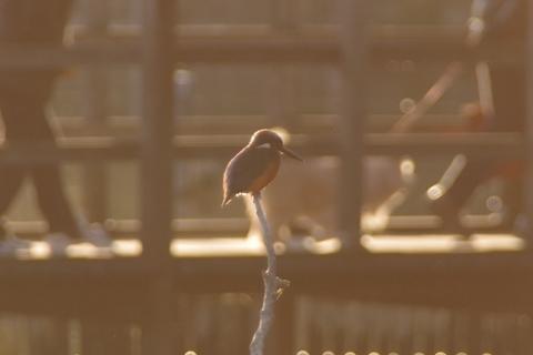 夕日を浴びるカワセミ