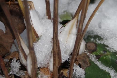 シモバシラの氷柱