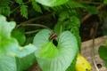ツマグロヒョウモンの幼虫3