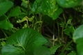 ツマグロヒョウモンの幼虫4