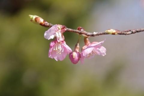 多聞院の桜2