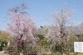 多聞院のしだれ桜