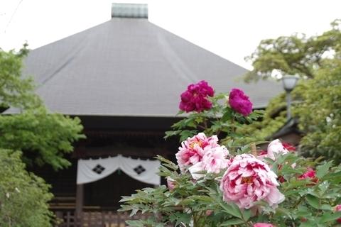 毘沙門堂と牡丹