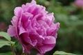 紫の牡丹1