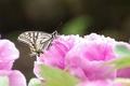牡丹とアゲハ蝶
