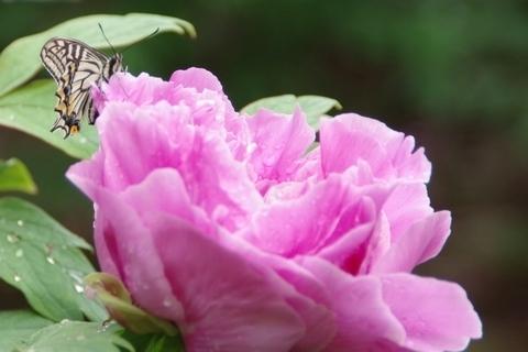 牡丹とアゲハチョウ
