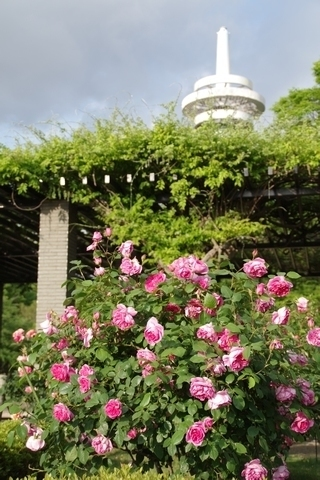 放送塔とバラ2