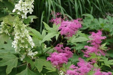 シモツケの花とカシワバアジサイ
