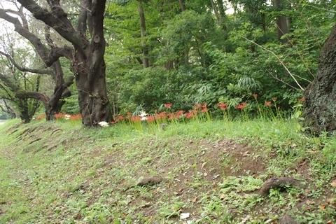 植え込みの上の彼岸花