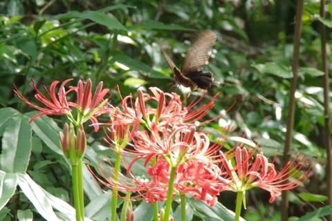 彼岸花とクロアゲハ1