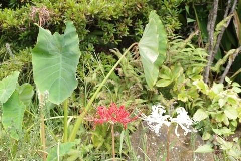 芋の葉とヒガンバナ