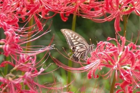 蜜を吸うナミアゲハと彼岸花