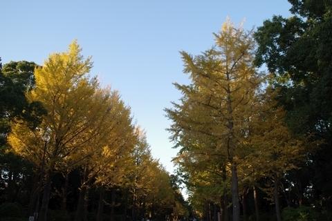 所沢航空記念公園の銀杏並木1