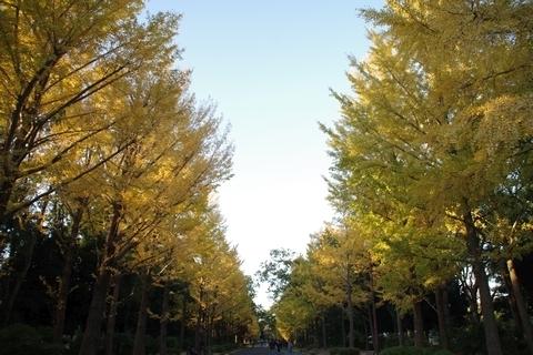 所沢航空記念公園の銀杏並木2