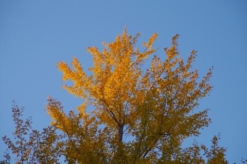 夕日があたる銀杏の木のてっぺん