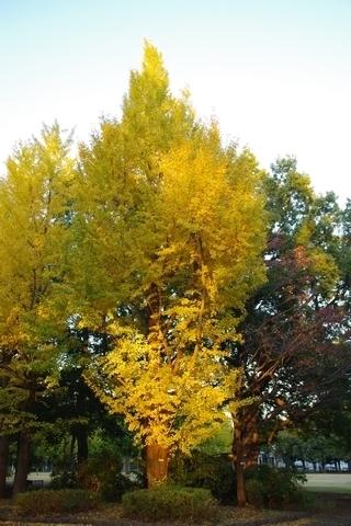 夕日のあたる銀杏の木