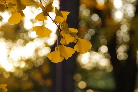 夕日に透けるイチョウの葉