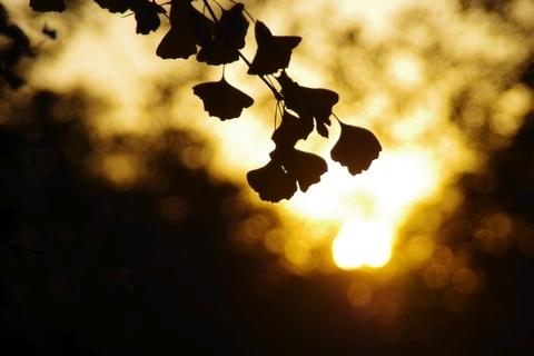 イチョウの葉のシルエット