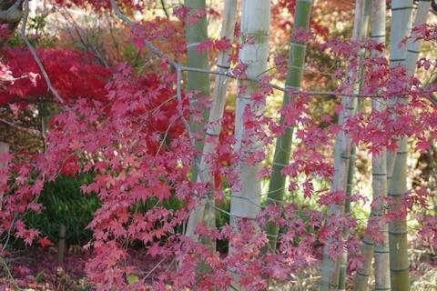 竹やぶと紅葉