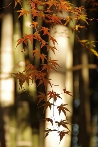 竹林と紅葉1