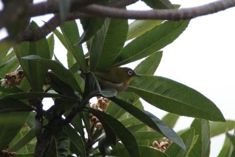 枇杷の木の中のメジロ