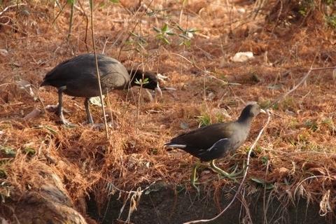 オオバンとバンの幼鳥