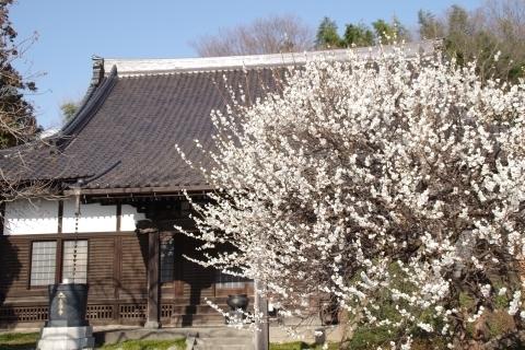 永源寺の白梅