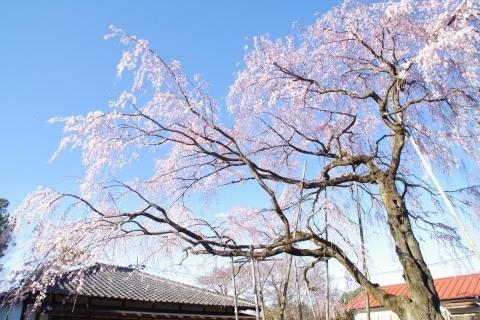 常楽院(長坂山薬王寺)の枝垂桜
