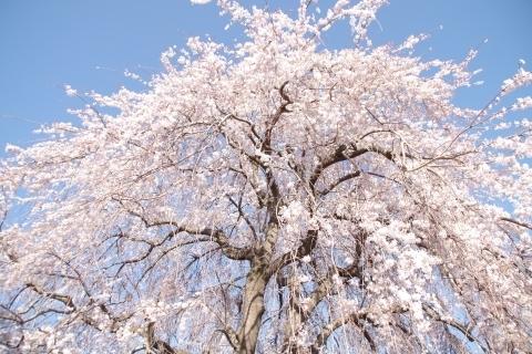 全徳寺の枝垂桜