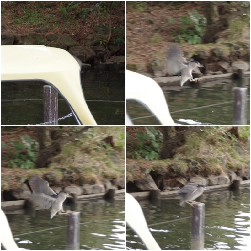 ゴイサギのジャンプ