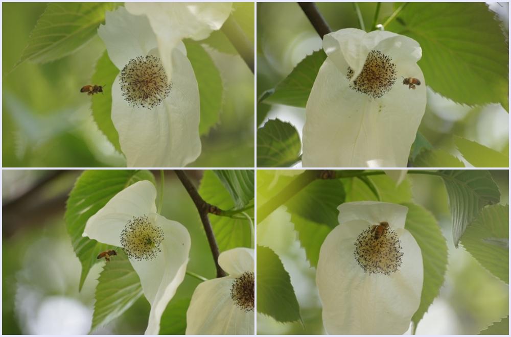ミツバチとハンカチノキの花