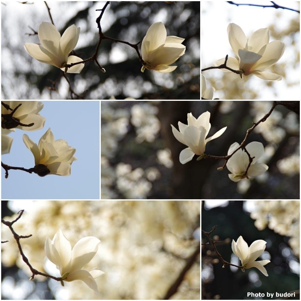 日に透ける白木蓮