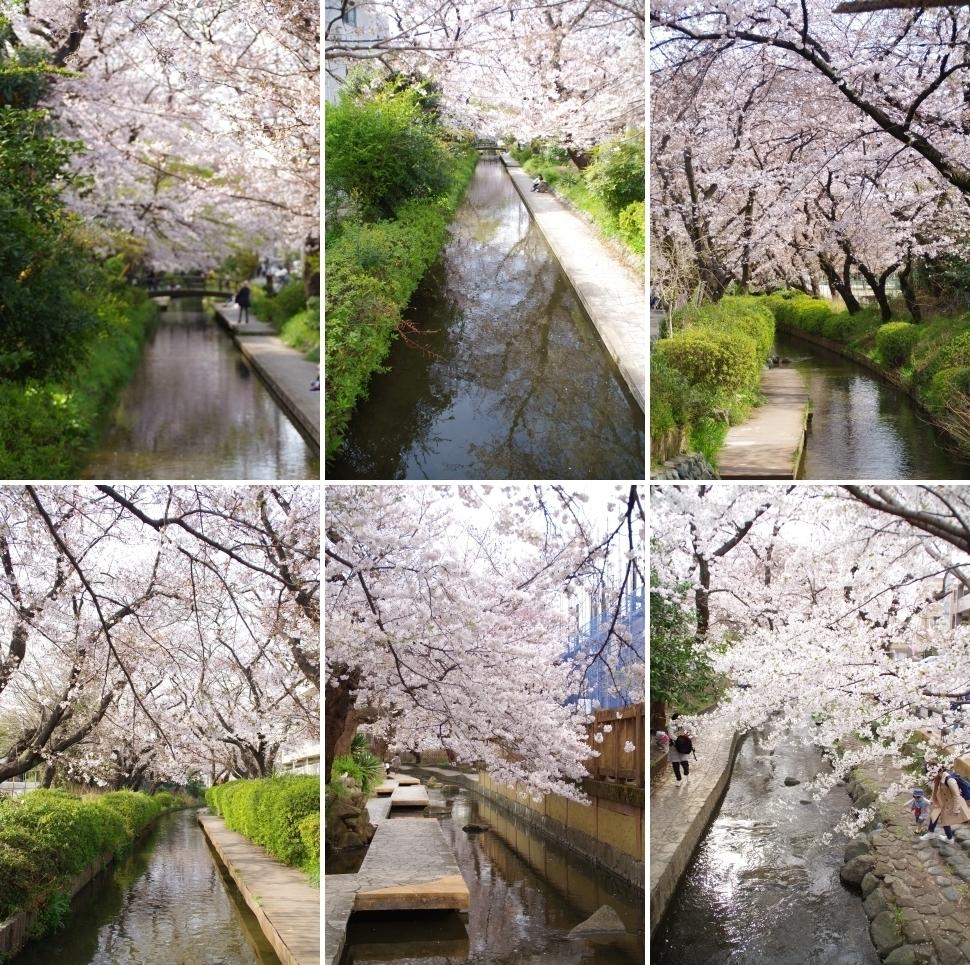 二ヶ領用水の桜2